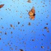 Cropped_75_flight_20of_20the_20butterflies_20-_20monarch_20sky2_20-_20sk_20films2_20_1_
